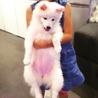 真っ白ふわふわの仔犬日本スピッツ サムネイル3