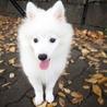 真っ白ふわふわの仔犬日本スピッツ サムネイル6