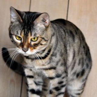とても元気なベンガル猫の男の子です / 高橋たまり