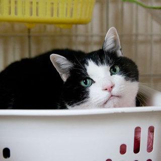 美形ハチ割れ甘えん坊黒白高齢猫