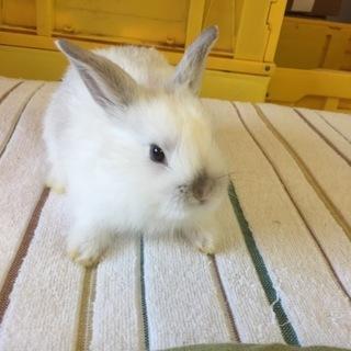 可愛い赤ちゃんウサギ4匹 青森県在住の方対象