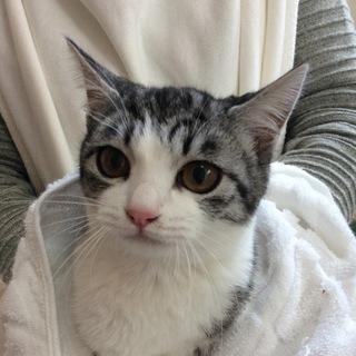 とっても美猫、キジシロ子ちゃん♪