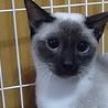 斬新な顔のシャム猫チャンです。