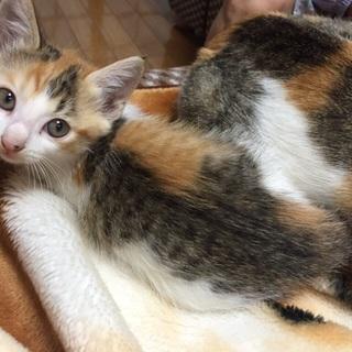 三毛猫★人懐こい美人猫