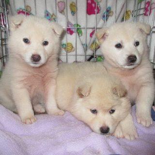 生後2カ月雑種の白ふわふわ♀♂兄妹3匹です!