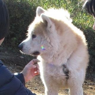 秋田犬のダイ君のお家探しています。交渉中