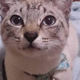 イケメンなシャム猫の男の子 1~3歳ぐらい