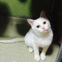 【白猫】 淡路(仮名)