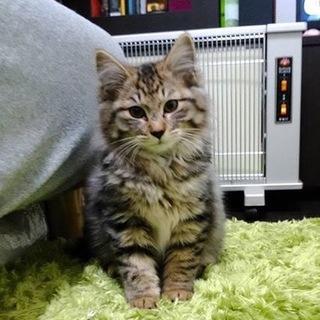 元気いっぱい キジ長毛の子猫 レオ 1.2kg