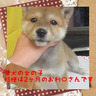 お利口な柴犬子犬の桔梗ちゃんは2ヶ月の女の子
