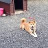 埼玉県北部より、雑種犬(メス)の里親募集です。