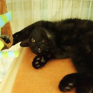 美猫の黒仔猫 家猫修行中 オモチャ大好き