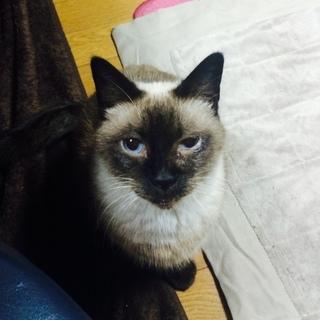 たぬき顔の甘えんぼうシャム系猫ちゃん♀
