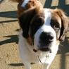 セントバーナードのテンダー君(3才)です。飼い主が保健所へ持ち込んだのを引き取りました。