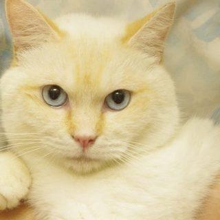 とっても甘えん坊の白色(クリーム色)の猫くんです。