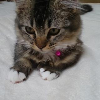 マンチカンの子猫♀です