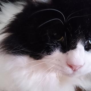 大きなムチムチ白黒長毛!丸くて可愛い!!