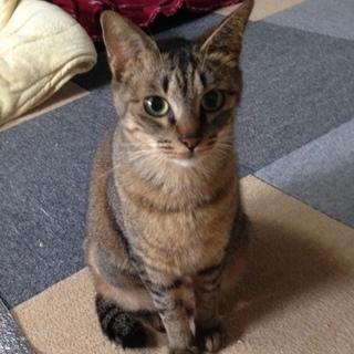 キジ猫の女の子「プリマちゃん」