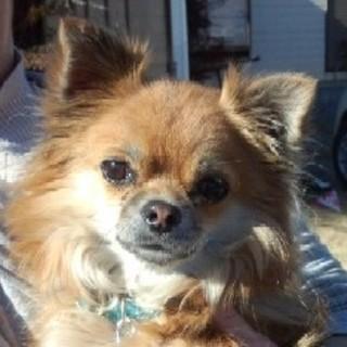 愛らしいチワワの新しい飼い主さんを募集します。