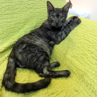 平成27年5月初め頃生まれのオスの若猫です