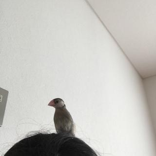 桜文鳥1羽