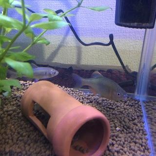 淡水魚 タナゴ3匹 里親募集中