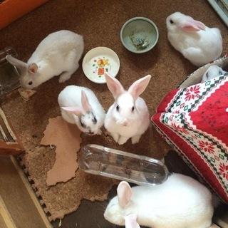 生後2か月のウサギ 6羽