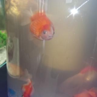 金魚2匹、ピンポンパール5匹、