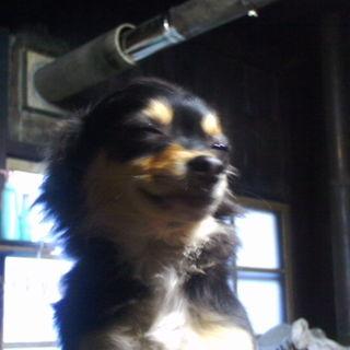 おしゃまなチワワの女の子♪4ヶ月の子犬です