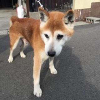 おじいちゃん柴犬の大豆(wan life)