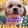 シーズー幼犬ポテト君は陽気な甘えん坊さん