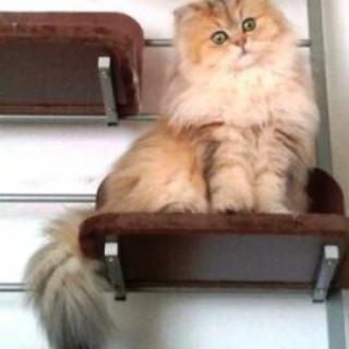 ペルシャ猫チンチラゴールデン雄(公認血統書付)
