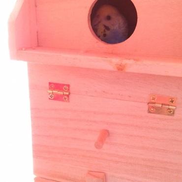 ポッポが巣箱の中から警戒してる姿