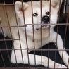 おとなしい秋田犬オス7歳です。