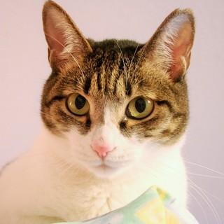 【みよみ】 小柄なキジ白美形猫
