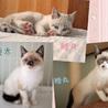きれいな青い瞳★シャムmixの3兄弟★生後4か月