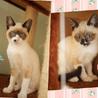 美しい青色の瞳★甘えん坊2兄弟★生後4か月