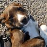 4ヶ月の仔犬オレオ(メス)