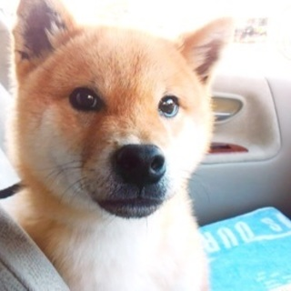 柴犬♂推定7ヵ月齢の柴男♡ご家族さま決定!