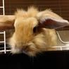 保護うさぎ26番/ミニウサギ