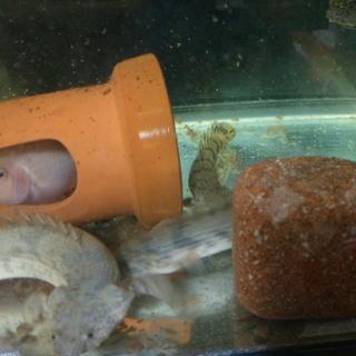 熱帯魚里親募集