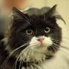 ふわふわ長毛かわいい白黒 姉妹猫(トライアル開始) サムネイル6