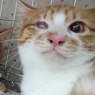 ゴロニャン茶白子猫の独眼竜まさむねくん!
