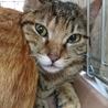 ビビリな遊ぶの大好き焦げ茶色トラ子猫おせんちゃん! サムネイル3