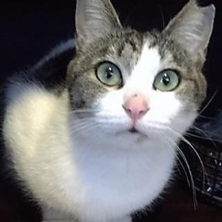 ツンデレ美猫のライムちゃん、募集再開です。