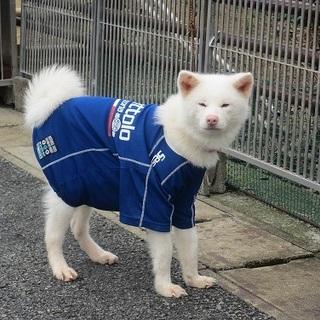 ありがとうございました!人懐こい小さな白秋田犬