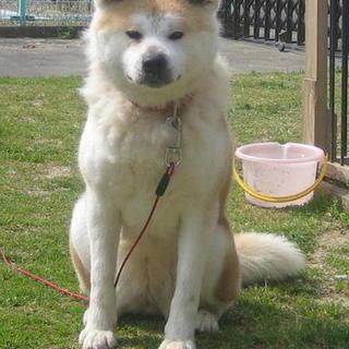 秋田犬かメルちゃん 素敵な里親様に巡り会いました