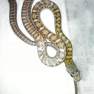 アオダイショウ幼蛇の里親募集