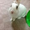 ミニウサギちゃん、2歳です(^^)
