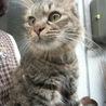 おっとりした半長毛キジ猫の女の子「もしゃこ」ちゃん
